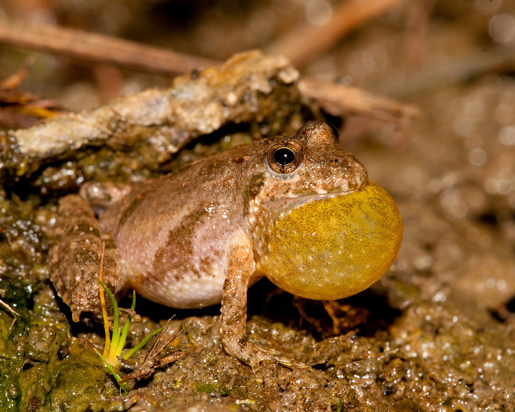 a cricket frog displaying for a mate