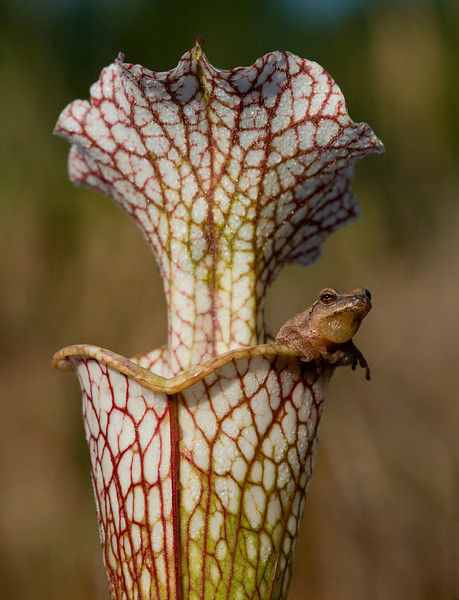 A spring peeper perches on a Pitcher plant