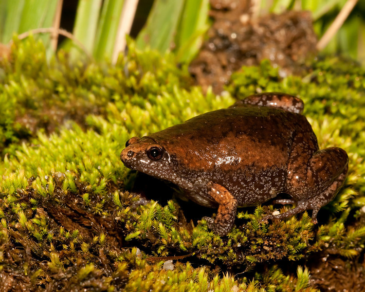 an eastern narrowmouth toad on a moss bed.  this image won 1st place in the outdoor alabama 2011 photo contest in the reptile amphibian category . i was tickled when i got that news !