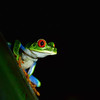 Red Gawdy Eyed Tree Frog, Tortuguero Costa Rica
