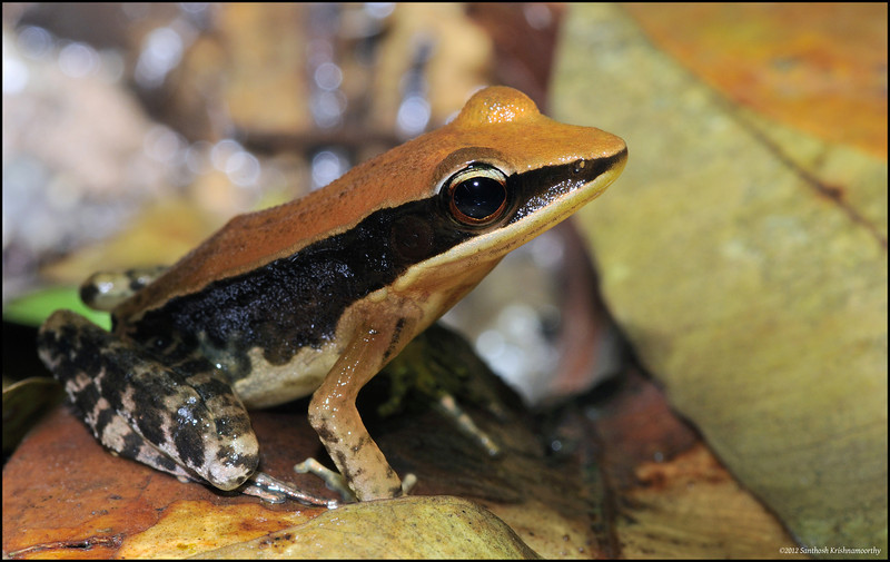 Fungoid Frog....