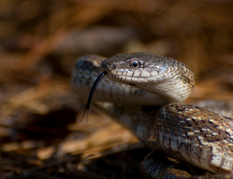 Grey rat snake flicking its tongue
