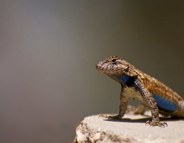 A fence lizard keeps his eyes open for mates