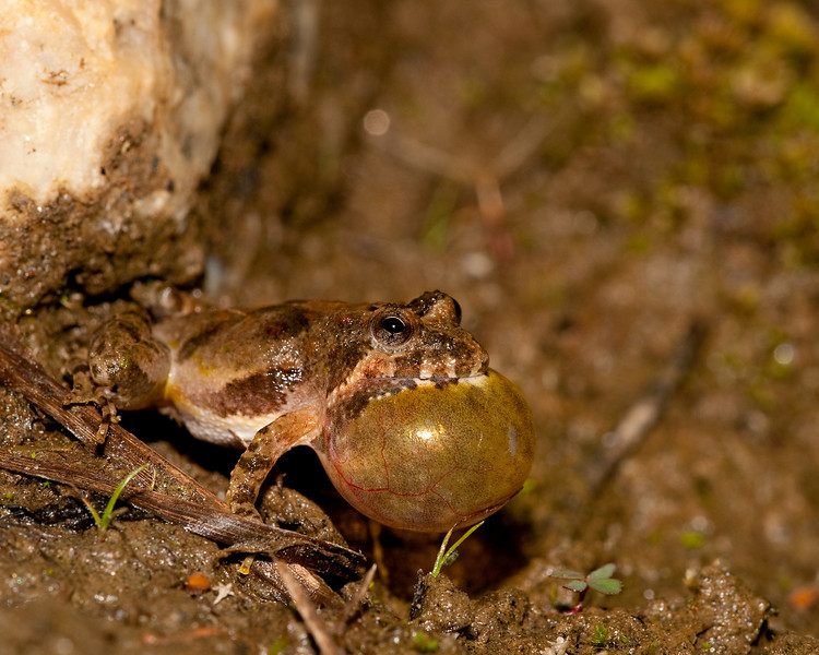 A cricket frog calling after a rain