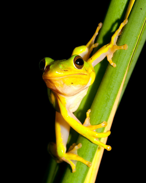 a green tree frog on a cat tail frond