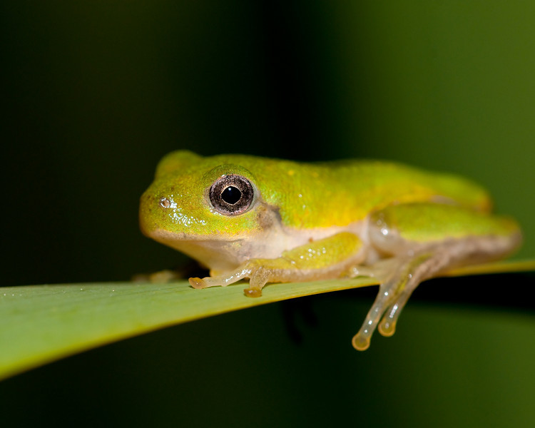 juvenile squirrel frog on a cat tail frond
