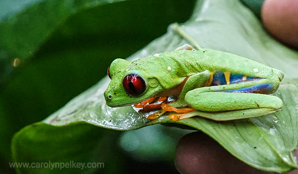 Red Eyed Gaudy Leaf Frog 1