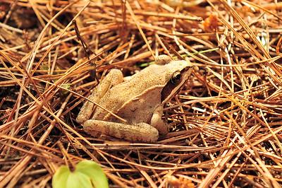 Wood frog - Lithobates sylvaticus.