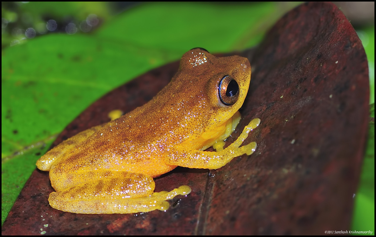 Blue eyed bush frog.....