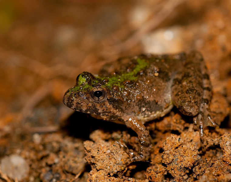 a cricket frog on a creek bank