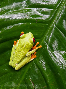 Red Eyed Gaudy Leaf Frog 3