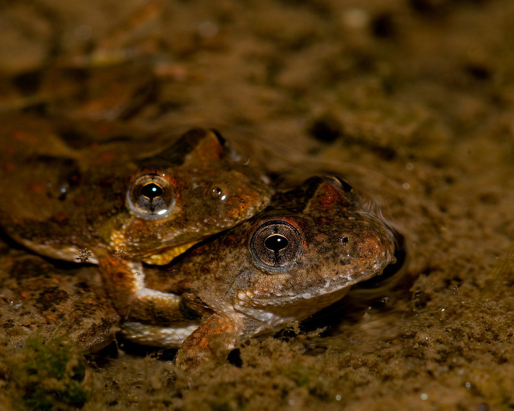Cricket frogs making more cricket frogs
