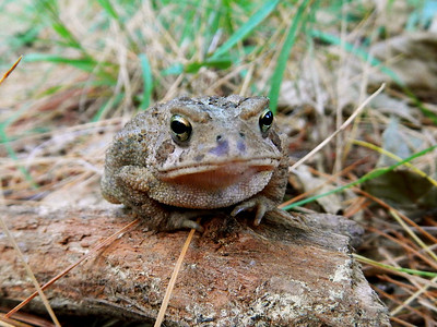 Little guy - American toad (Bufo americanus).
