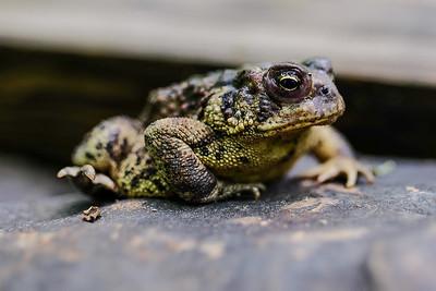 American Toad - Anaxyrus (Bufo) americanus.