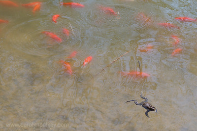 Single Frog Among the Goldfish