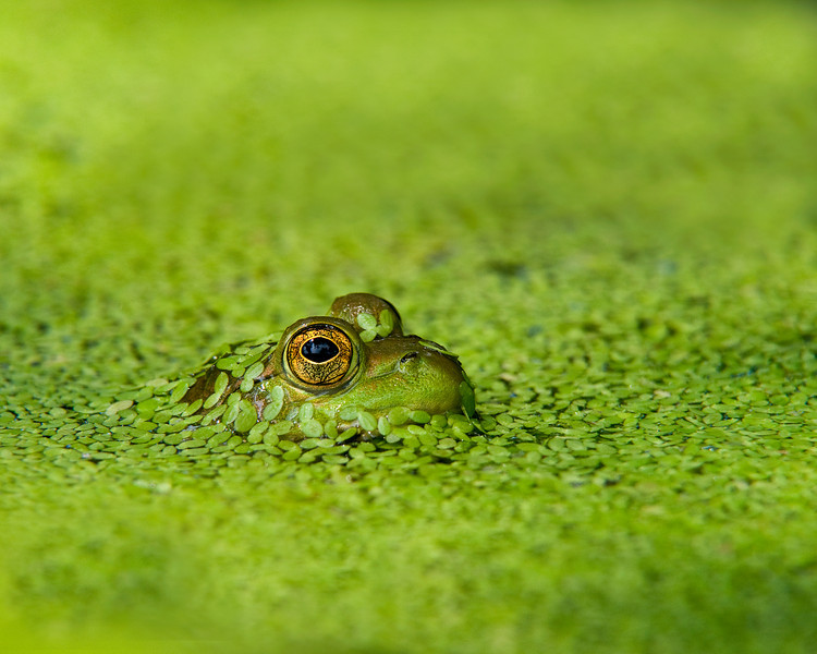 A frog peeks through duckweed