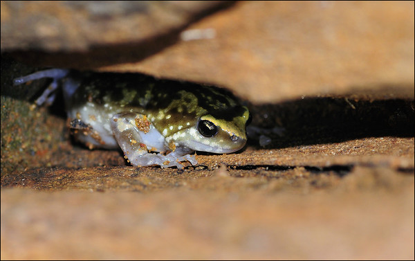 Termite Nest Frog (Ramanella Variegata)