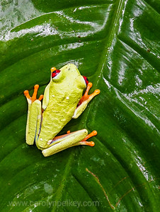 Red Eyed Gaudy Leaf Frog 4