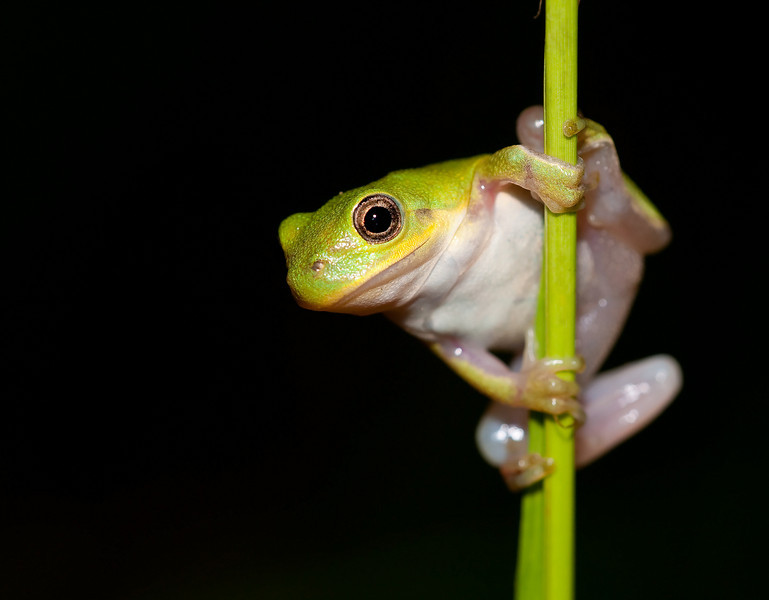 juvenile squirrel frog on a stem