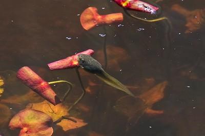 A tadpole or pollywog.