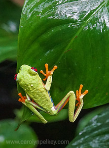 Red Eyed Gaudy Leaf Frog Ready to Jump