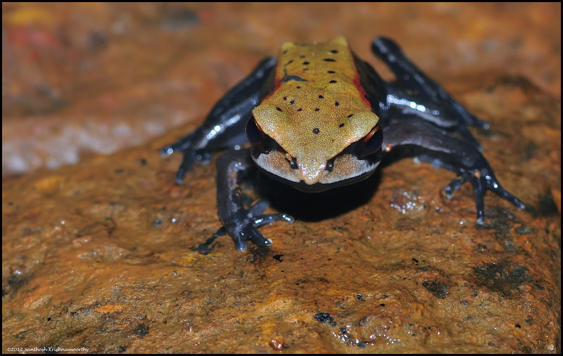 Bi-colored frog....
