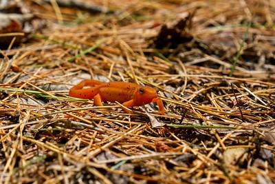 Salamander - Juvenile Eastern (Red-Spotted) Newt (Notophthalmus viridescens).