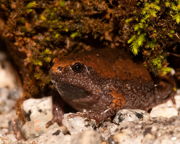 eastern narrowmouth toad under a mossy ledge