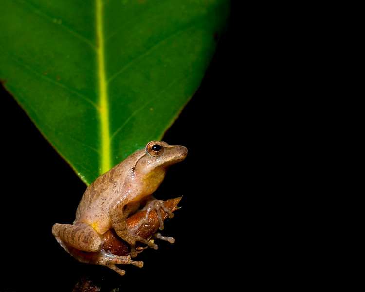 Spring Peeper on a magnolia branch
