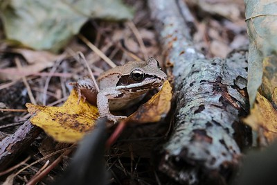 Wood Frog (Rana sylvatica).