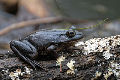 North American bullfrog (Lithobates catesbeianus).