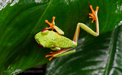 Red Eyed Gaudy Leaf Frog 2 -Stretching Out