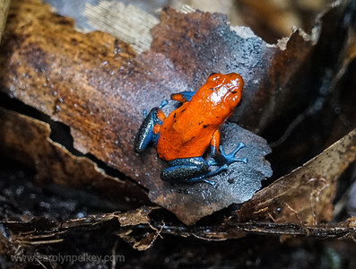 Tiny Red Dart Frog Posed for a Moment