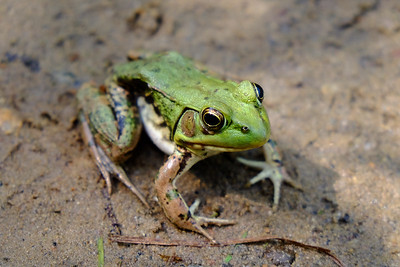 Notice the frogs eardrum; the circular indention behind its eye.