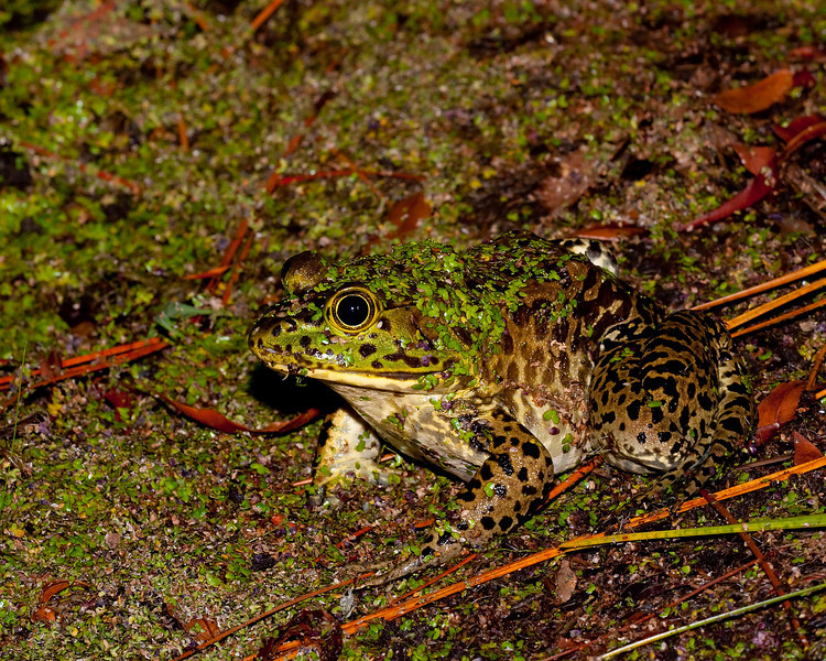 a large bullfrog covered in duck weed