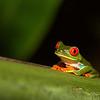 Red Gawdy Eyed Tree Frog, Tortuguero Costa Rica