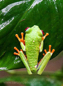 Red Eyed Gaudy Leaf Frog