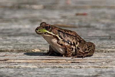 Green frog (Lithobates clamitans).