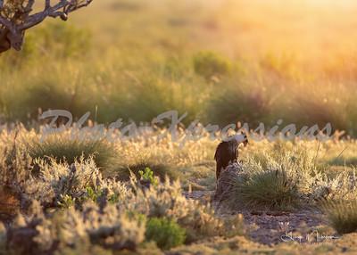 caracara Anahauc sunrise_0115