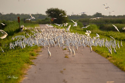 flock of snowy egrets on road_4199