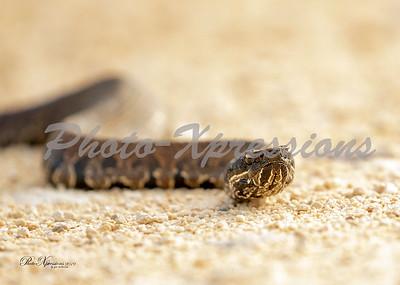 cotton mouth snake_4286