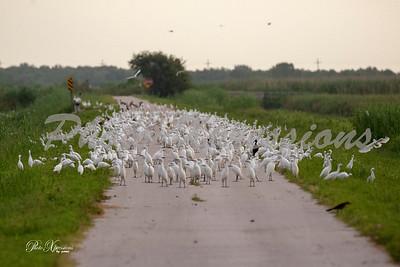 flock of snowy egrets_4182