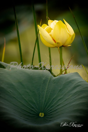 lilly pad bloom_4119