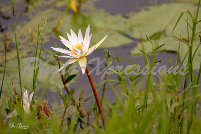 water lilly flower_4188