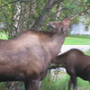 Moose Munching in residential Anchorage Alaska
