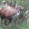 Three-legged moose brunching in a residential area near Lake Hood,  Anchorage, Alaska