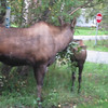 Mother moose pulls branch down so Jr. can get the leaves.  Mother Moose is missing the right hind hoof, through some mishap.