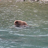 Driving the Sterling Highway to Anchorage, I was near the Kenai River, and stopped when I saw a lot of people watching the river.. This brown bear (grizzly ?) was catching his dinner... he caught quite a few fish before he was full, and walked off up the river.  Just down river, men were seeking the same salmon, from boats.