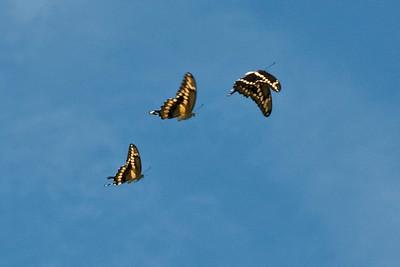 3 butterflies 3