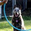 Angelyne, the deaf cattle dog, and his owner, Eric Melvin, did a program for the Cottage School in Boulder on Thursday night.<br /> Cliff Grassmick / July 21, 2011